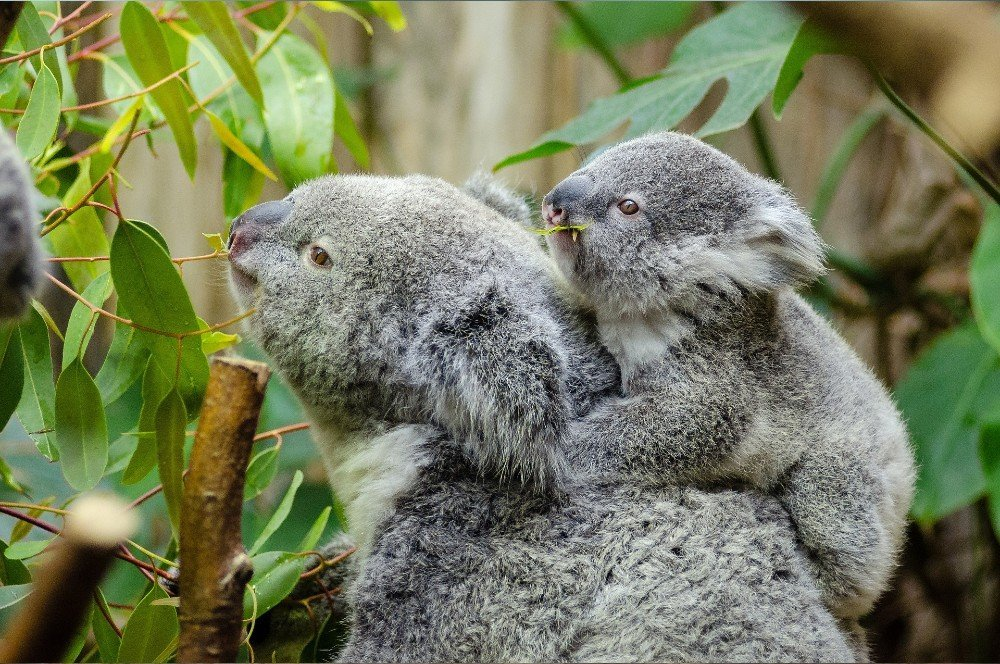 a koala family in the wild